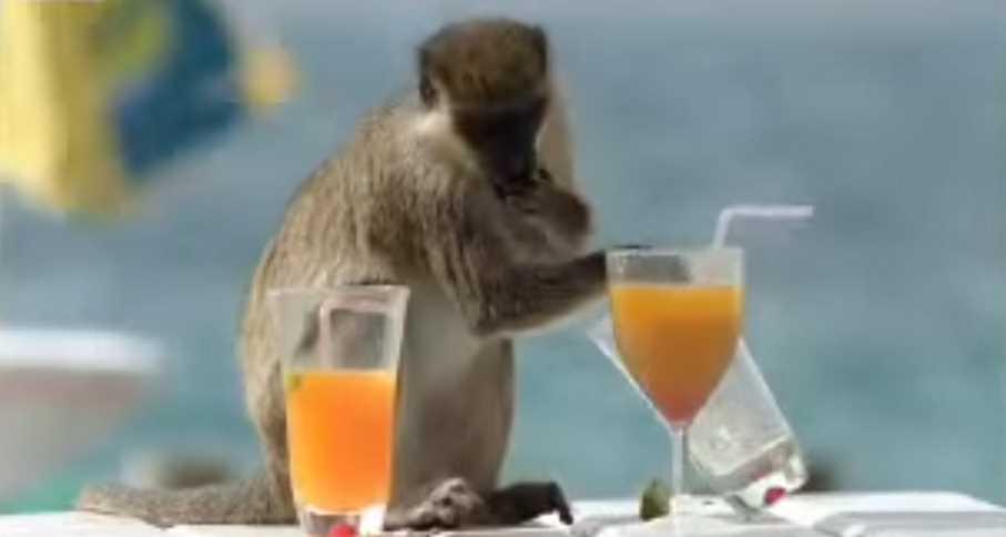 Drunk Monkey Bar In The Caribbean