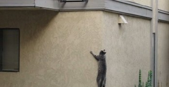 Cat Climbs House To Reach Where He Lives