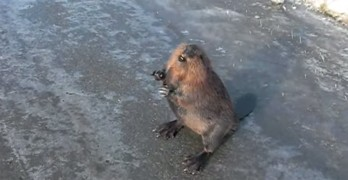 Talking Beaver on the Highway Welcoming Drivers