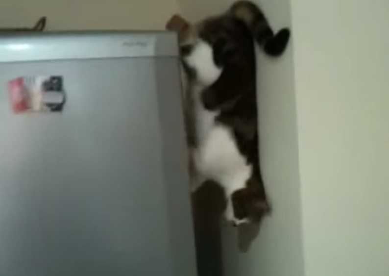 The Amazing Spider Cat Climbs Down Refrigerator