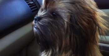Chewbacca Dog Looks Like Chewie From Star Wars