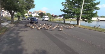 Crazy Canada Geese Decide To Hold Up Traffic