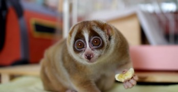 Slow Loris Eating A Banana That Is Super Cute