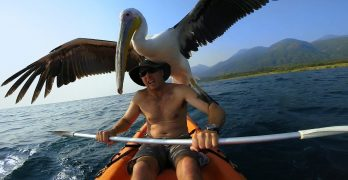 An Orphan Pelican Learns How To Fish