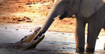 Crocodile Attacks Elephant At Watering Hole